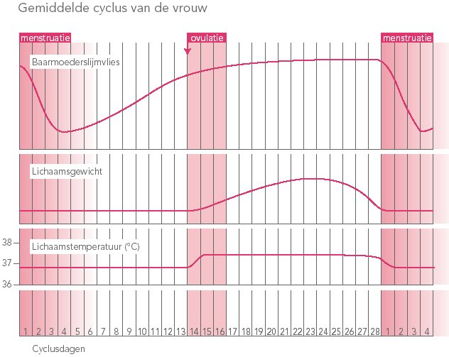 Gemiddelde cyclus van een vrouw.